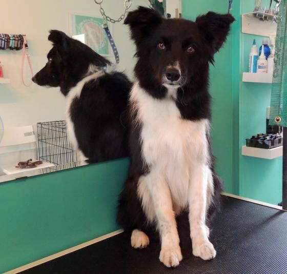 just 4 paws dog grooming picture gallery